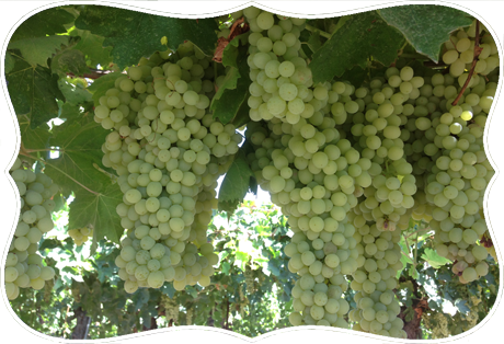 home table grapes design
